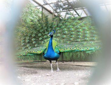 孔雀も羽をいっぱいに広げて